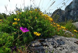 The flowers of the Burren